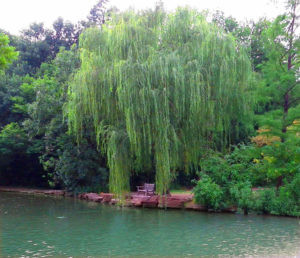 willow-by-a-bench