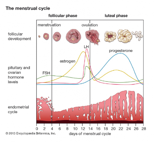 a menstrual cycle chart